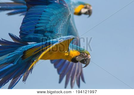 Blue and gold macaw (Ara ararauna). Parrot birds flying. Beautiful wildlife image with copy space.