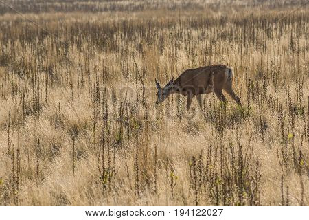 Antelope grazing in grasslands on island near Great Salt Lake in Utah USA.