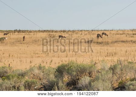 Antelope herd grazing in grasslands on island near Great Salt Lake in Utah USA.
