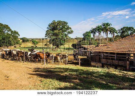 Pirenopolis, Brazil - July 1, 2017: Cattle Breeding. Brazilian Farm In Pirenopolis