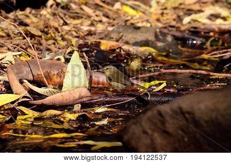 Small birds on the wet soil, phylloscopus canariensis