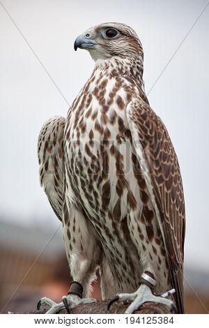 falcon saker detail