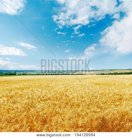 golden agriculture field and blue sky with clouds over it