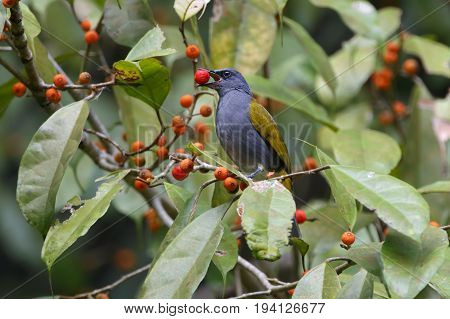 Grey-bellied Bulbul Pycnonotus Cyaniventris Birds Eating Fruit