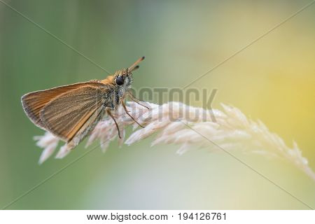 Beautiful nature scene with butterfly Essex skipper (Thymelicus lineola). Macro shot of butterfly on the grass. Butterfly in the nature habitat.