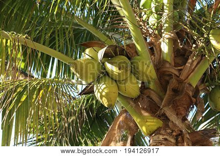Fresh Coconuts on the Coconut tree - healty