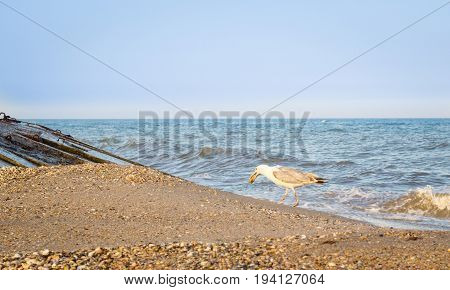 seagull goes along the shore of the Black Sea and carries a fish head in its beak