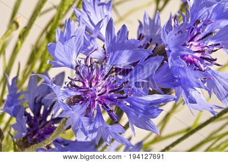 Background with blue cornflowers close up. Several blue cornflowers close up.