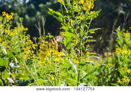 Aphrodite Fritillary Butterfly on goldenrod plant with flowers in summer