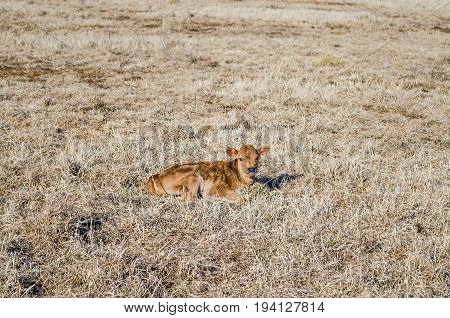 One brown cow calf lying down in hay dried grass on field meadow in winter