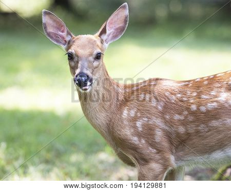 Beautiful White Tail Fawn Deer Close Up Photo's