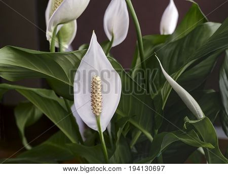 Beautiful white flowers and green leaves tropical flower Spathiphyllum on a dark background.