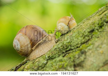 The grape snail lives in the garden and crawls along the green grass, with the right preparation is a delicious delicacy