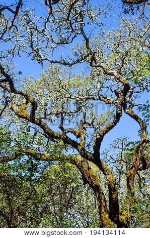 Northern California oak tree with bright yellow leaves isolated against sky with many branches