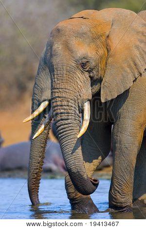 African Elephant : Loxodonta Africana : South Africa