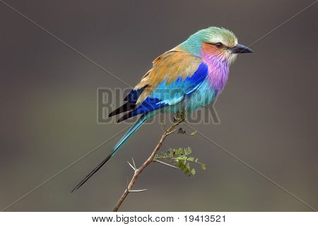 Lilacbreasted Roller : Coracias Caudata : South Africa