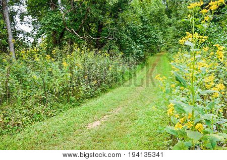 Path through forest with yellow wingstem flowers in Shenandoah valley in Appalachian Blue Ridge mountains in Virginia