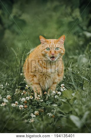 Ginger cat sitting and cry in green grass outdoor shot at sunny day