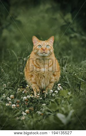 Ginger cat sitting in green grass outdoor shot at sunny day