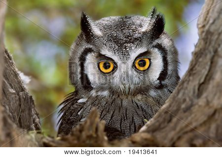 Close-up of a Whitefaced Owl; Otus Leucotis; South Africa