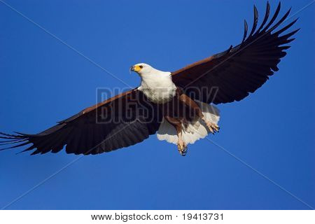 Close-up of the majestic African Fish Eagle flying against blue sky; Haliaeetus Vocifer