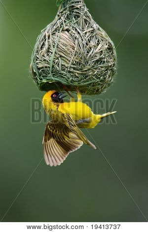 Masked Weaver; Ploceus Velatus; hanging upside down from nest; South Africa