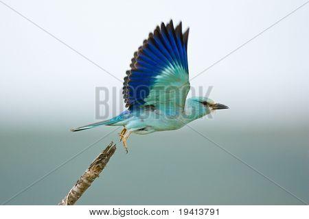 Eurasian Roller taking flight;  coracias garrulus; South Africa
