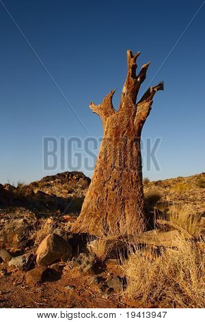 Dead quiver tree in arid landscape; Aloe dichotoma; Northern; Cape; South; Africa