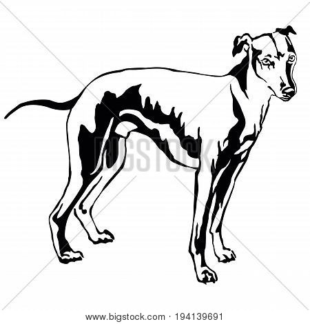 Decorative portrait of standing in profile dog Whippet (Sight hound) vector isolated illustration in black color on white background