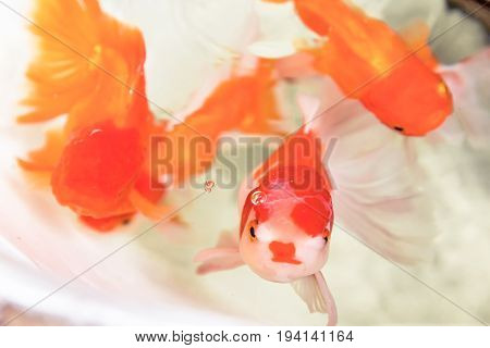 Selective focus and close up golden fish in well abstract animal background.