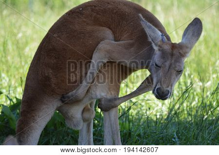 A kangaroo resting in the shade during summer