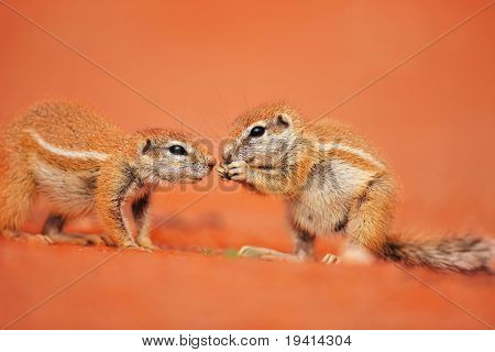 Two Ground squirrels interacting while one is eating;  Xerus inaurus