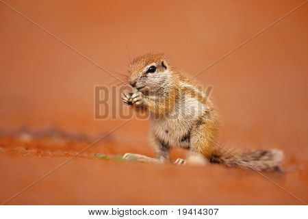 Ground squirrel eating green foliage in kalahari desert; Xerus inaurus