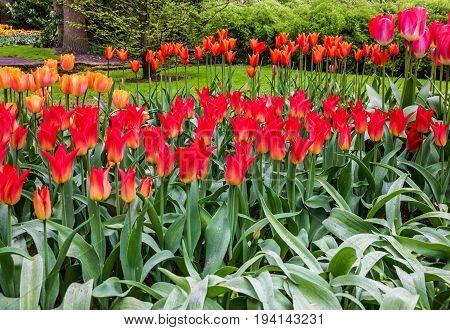 Holland tulips park Keukenhof - flower garden. Netherlands