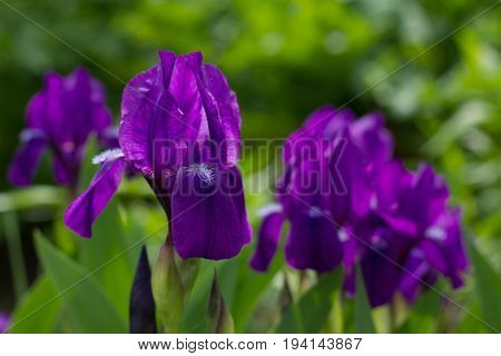 Bouquet of flowers irises on the bed. Horizontal orientation