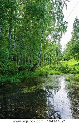 A Quiet Backwater With Large Birch Trees On The Shore.