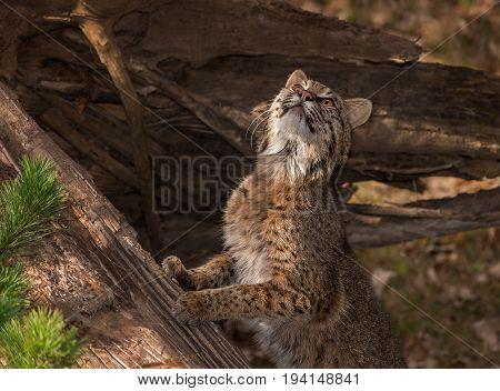Bobcat (Lynx rufus) Stretches Upward - captive animal