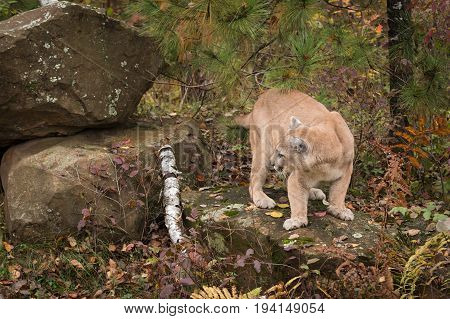 Adult Male Cougar (Puma concolor) Turns to Left - captive animal