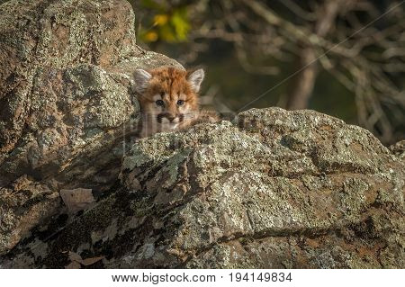 Female Cougar Kitten (Puma concolor) Nestled in Rocks - captive animal