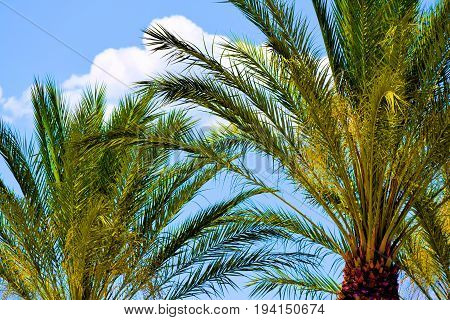 Lush green Date Palm Trees taken in the desert