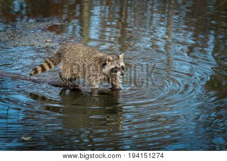 Raccoon (Procyon lotor) Looks Up From Water - captive animal