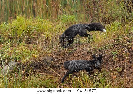 Silver Foxes (Vulpes vulpes) Move About - captive animals
