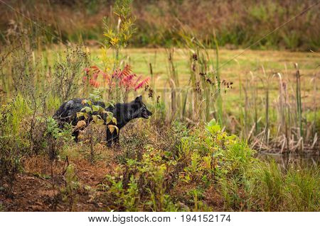 Silver Fox (Vulpes vulpes) Looks Right - captive animal