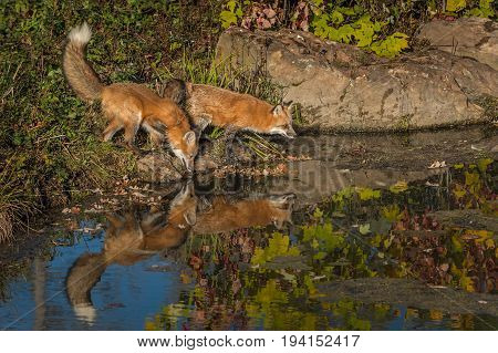 Two Red Fox (Vulpes vulpes) at Edge of Pond - captive animal