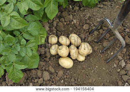 Freshly dug Pentland Javelin new potatoes in a vegetable garden.