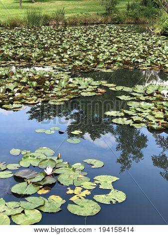 Lilies in a pond with a reflection of the sky clouds and trees in the pond water with grass at the edge of the pond in the background and space for text.