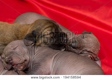 Newborn dog Mexican xoloitzcuintle puppies one week old sleep on a red background. Ready for bed
