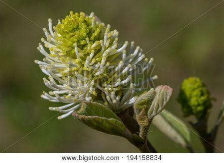 Large witch alder(Fothergilla major) single flower closeup in spring