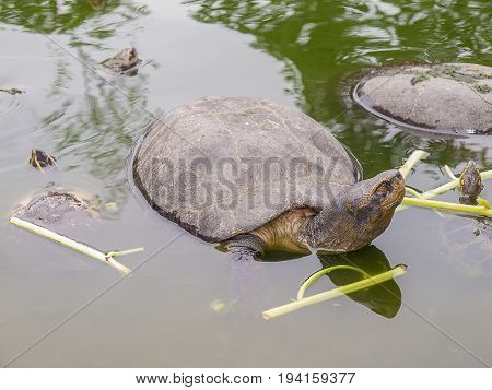 Turtle in the pool in thailand. Beauty in nature.
