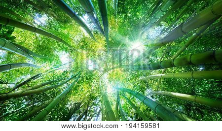 Bamboo Forest With Sunlight - Green Background